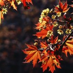 orange-leaves